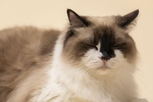 目を閉じて伏せている猫
