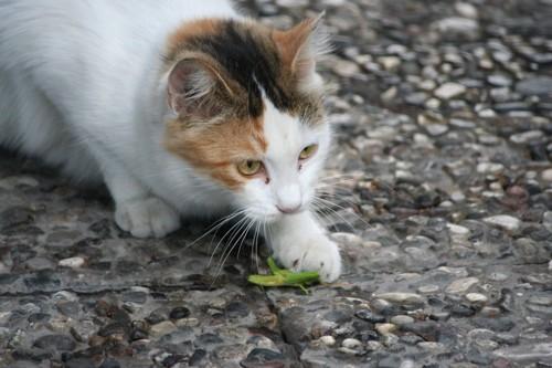バッタを捕まえた猫