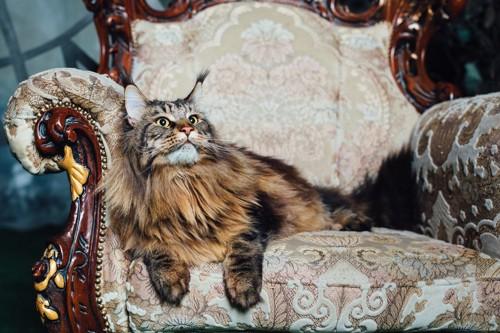 アンティーク椅子に座る猫