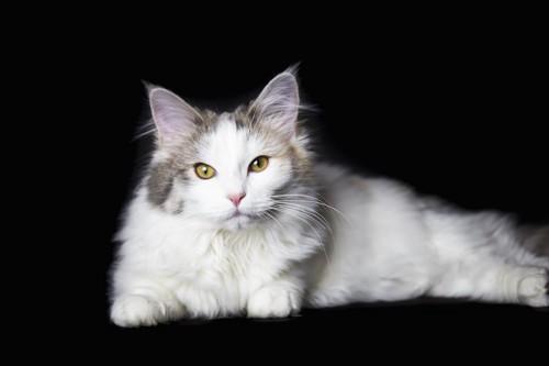 美しい毛並みの猫