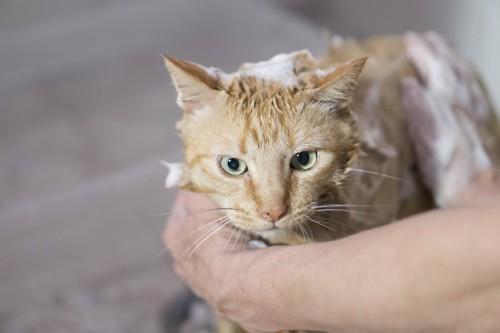 おとなしくシャンプーされている猫