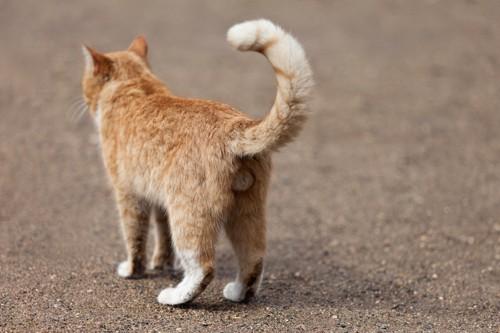 オス猫の後ろ姿