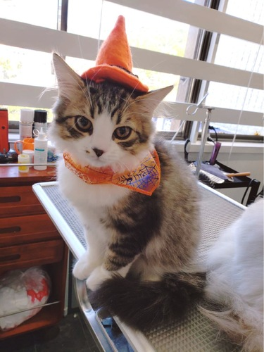 魔女の帽子と蜘蛛の巣柄のスカーフで仮装した猫