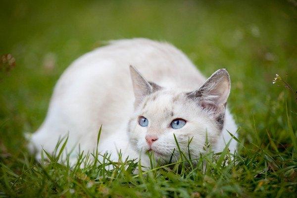 芝生の上のマンチカン