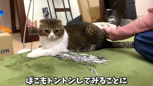 座る折れ耳猫