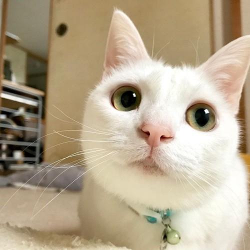 白猫リリーさんのかわいいアップ