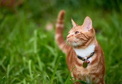 迷子札を付けた猫