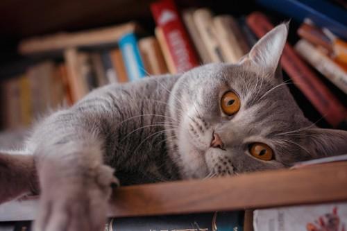本棚に寝転んで見つめる猫