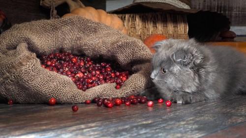 麻袋からこぼれたクランベリーを見つめる猫