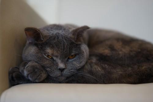 どっしりした猫
