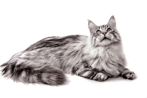 片手を曲げて上を見つめる猫