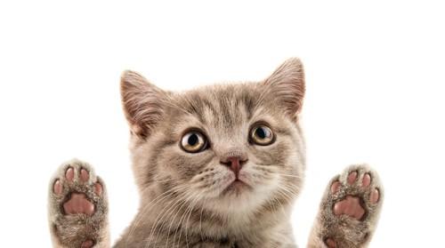 両手の肉球を見せている子猫