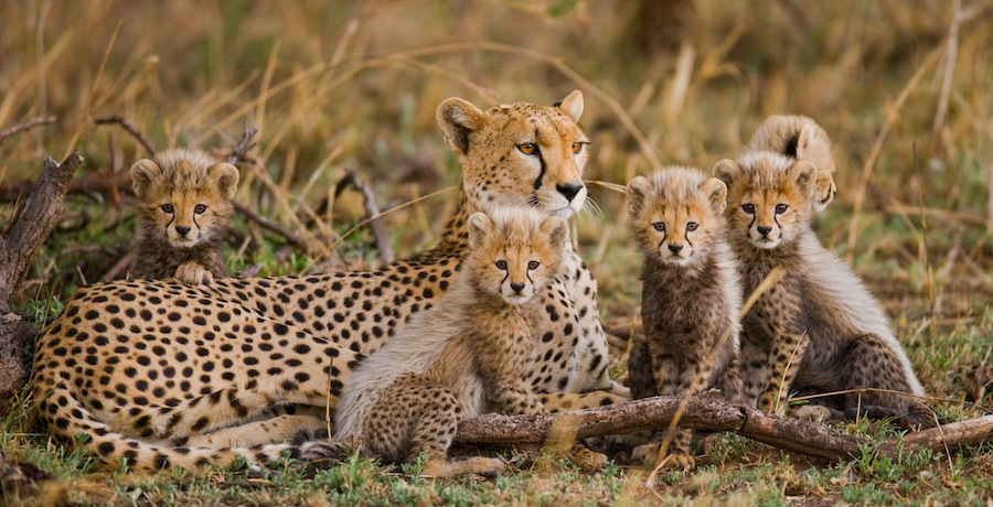 母チーターと子供たち