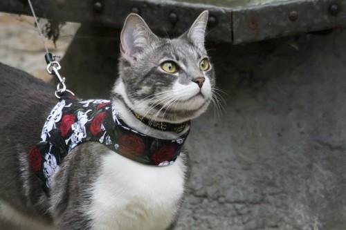 ハーネスを付けて外を歩く猫