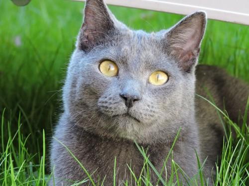 草原にいるロシアンブルー