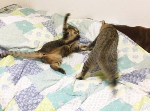 2匹で戯れあっている猫