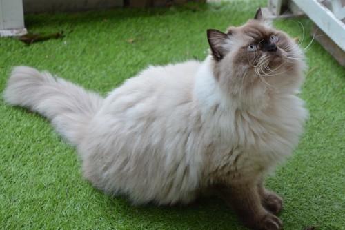 芝生の上に座る長毛猫