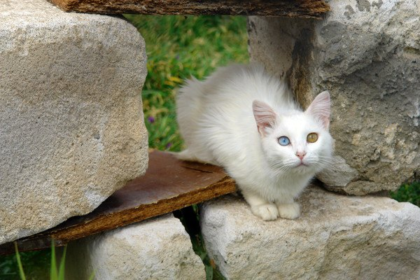岩の上にいるヴァン猫