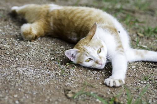 地面に体をひねって寝転ぶ猫