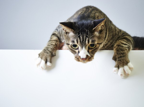 白い板から手を伸ばす猫