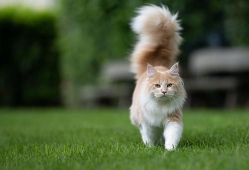 しっぽを立てて芝生を歩く猫