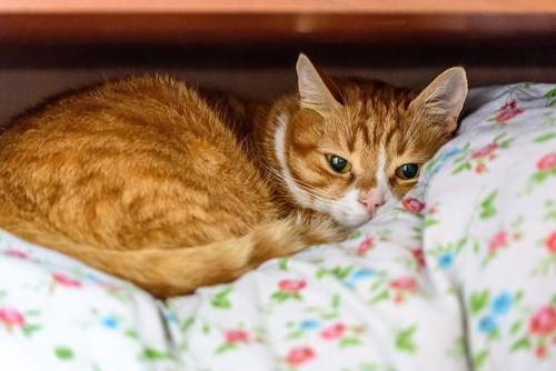 布団の上に横たわる猫