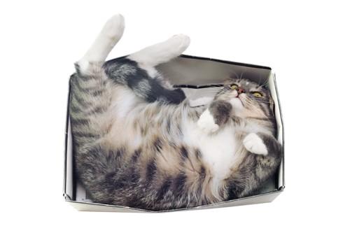 箱に詰まっている猫