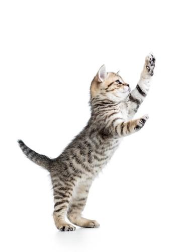 2本足で立っている猫