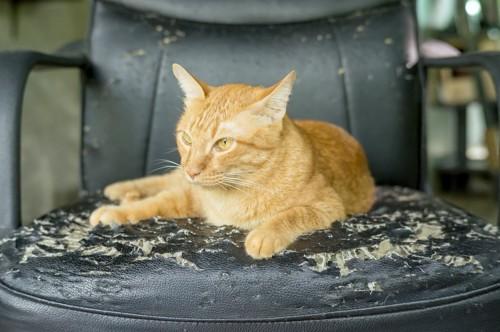 ボロボロにした椅子の上で寛ぐ猫