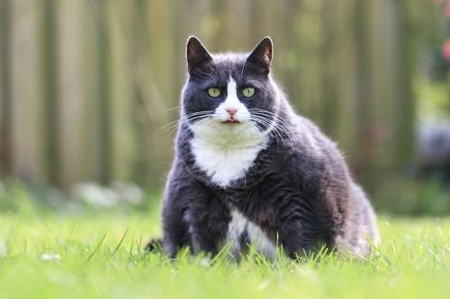 芝生に座る肥満猫