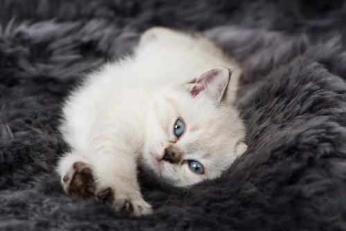 バンザイで伸びている子猫
