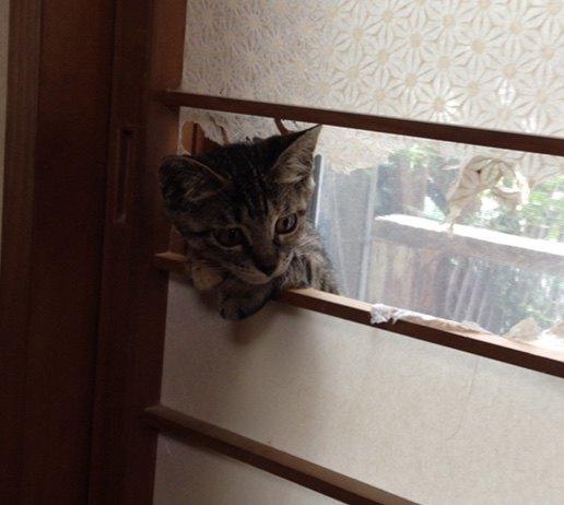 障子から顔出しする猫