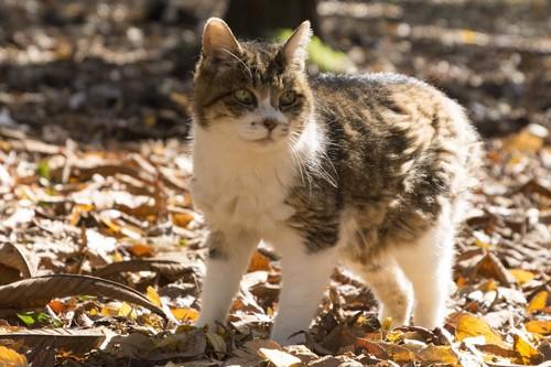 落ち葉の上を歩くキジ白猫