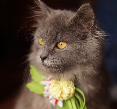お花飾りを付けているメインクーン