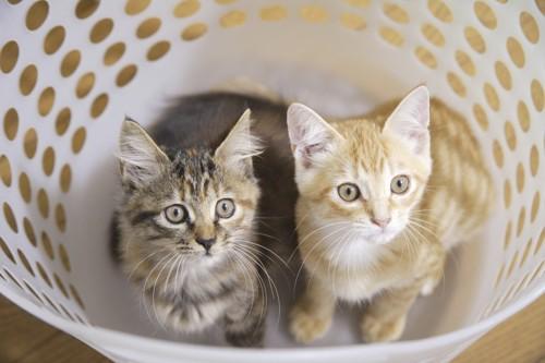 ランドリーバスケットの中の子猫2匹