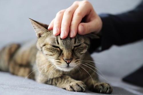 おでこを撫でてもらっている猫