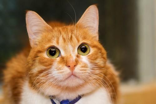 オスの顔つきの猫