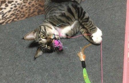 お気に入りのおもちゃで遊んでいる猫