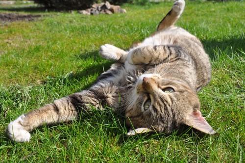 草原でくねくねしている猫