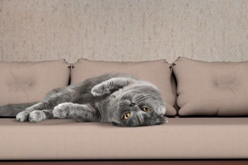 ソファで転がるグレー猫