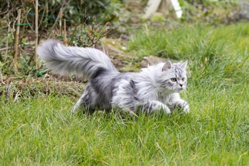 草原を駆け抜けるペルシャ猫