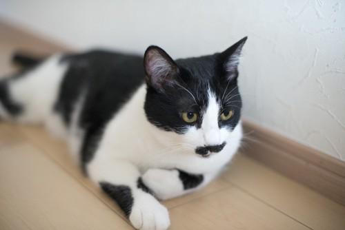口元の模様が特徴的な猫