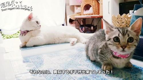 横になる白猫とおすわりをする子猫