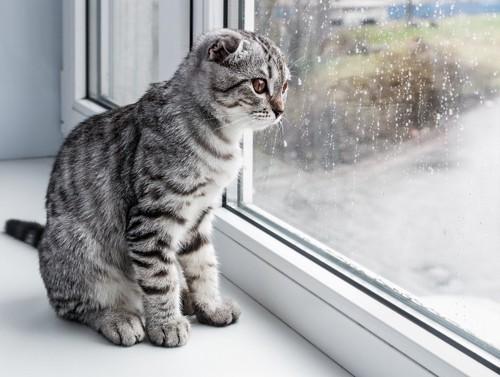 窓から外の雨を見る猫
