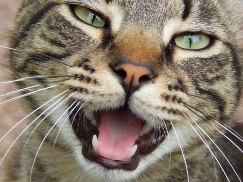 アップで鳴いている猫