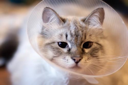 首にエリザベスカラーをつけている猫