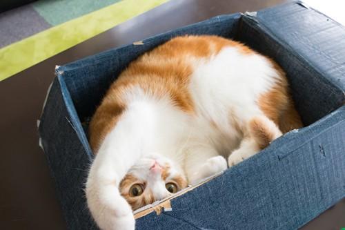段ボール箱に入って遊ぶ猫