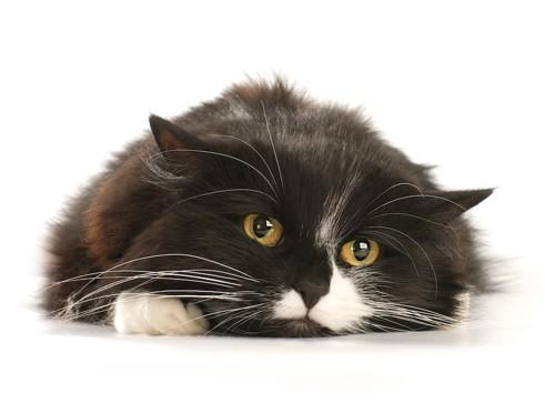床に伏せてこちらを見つめる猫