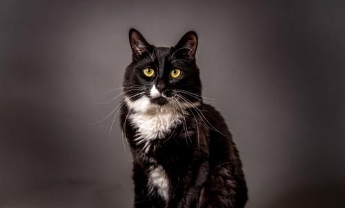 タキシード柄のぶち猫