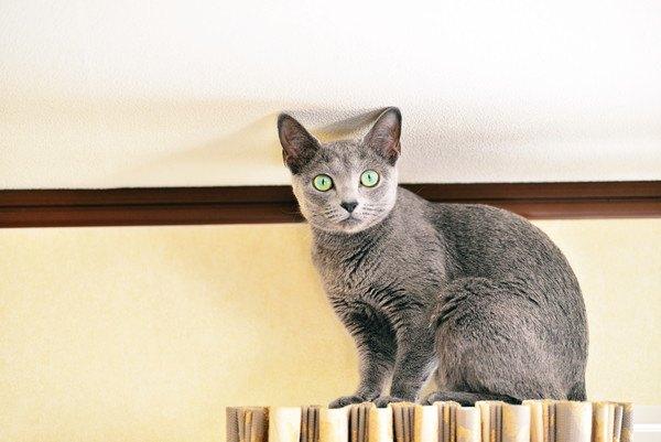 壁で驚いた顔の灰色の猫
